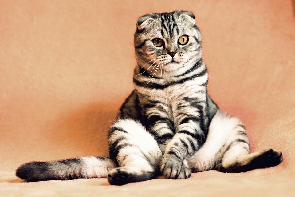 Cat, Kitten, Pets, Animals, Housecat, Feline, Sitting