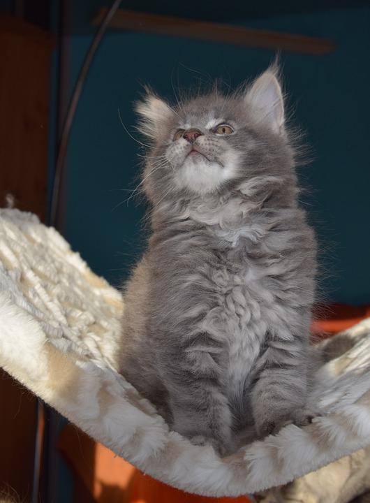 Cat, Grey Fur, Pets, Kitten, Fluffy, Mammal, Inside