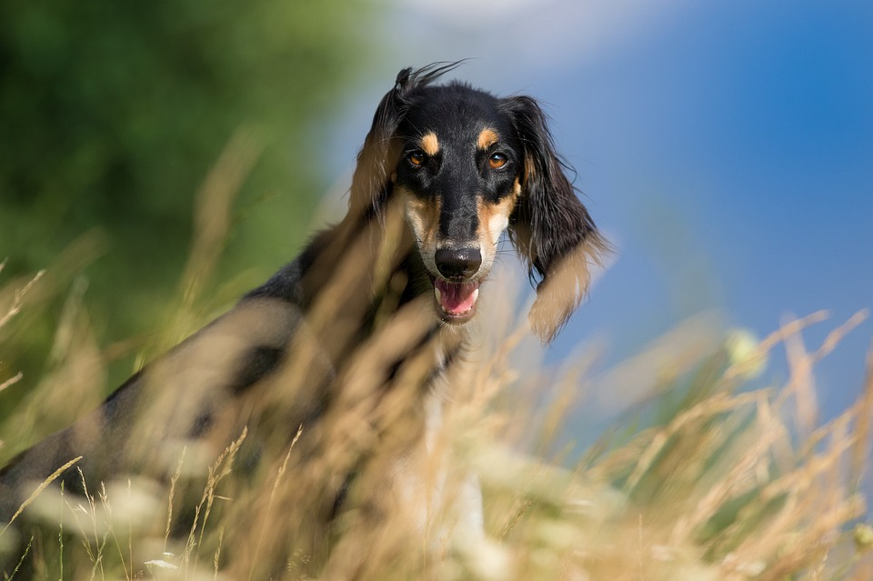 Free photo Pets Hairy Dog Saluki Nature Pet Greyhound - Max Pixel