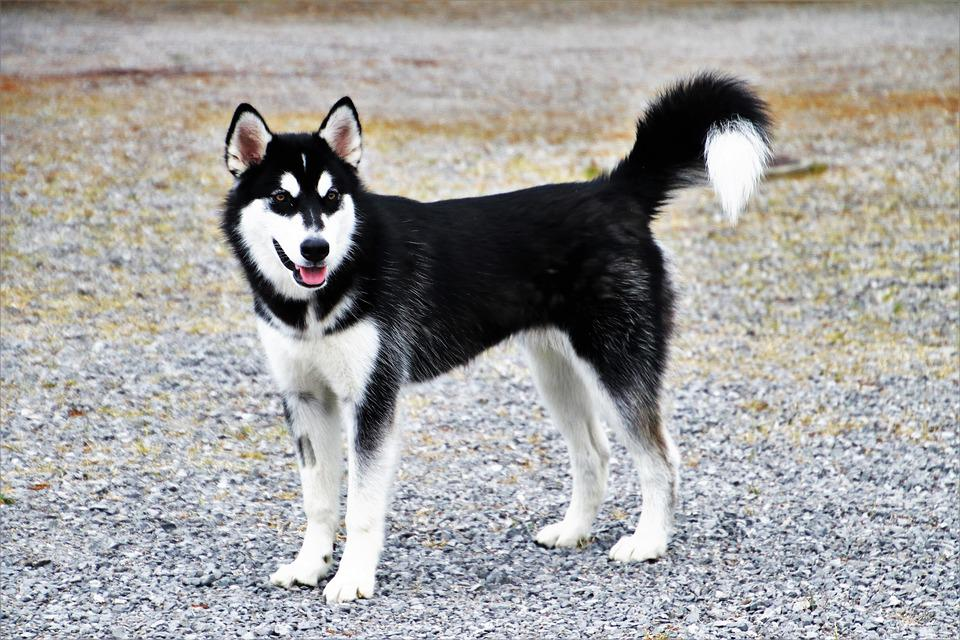 Dog, Charming, Husky, Spacer, Animals, Mammals, Pets
