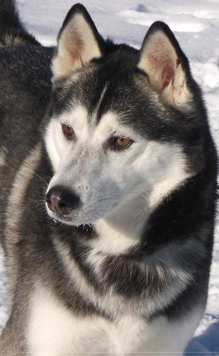 Husky, Dog, Outdoors, Winter, Pets, Snow, Canine