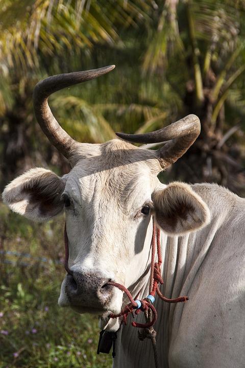 Cattle, Ko, Thailand, Pets, Animals, Nature, Horn