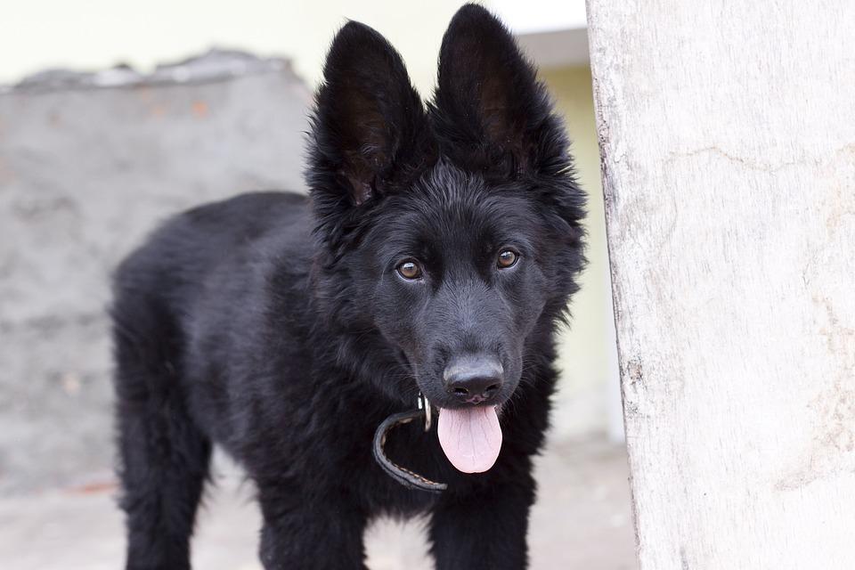 German Shepherd, Puppy, Small Dog, Pets, Dog