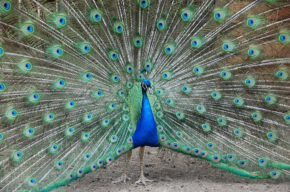 Peacock, Zoo, Petting, Blue, Green, Colors, Animal