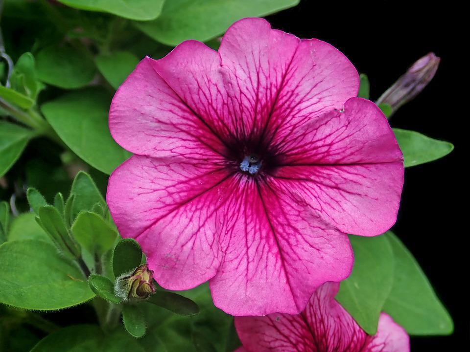 Flower, Petunia, Garden, Nature