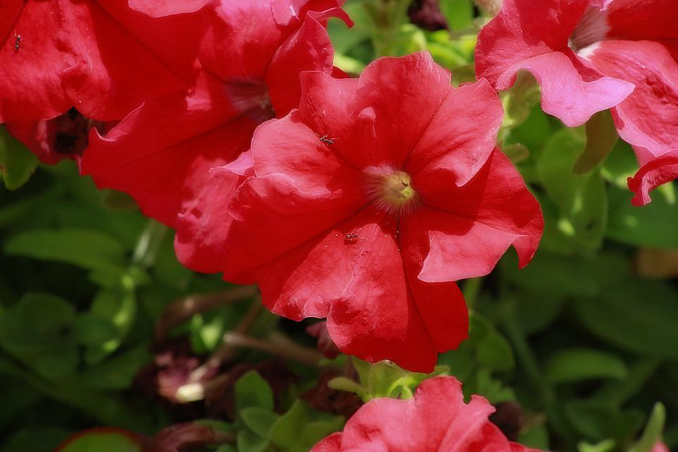 Flower, Red, Petunia, Red Flower, Plant, Petals