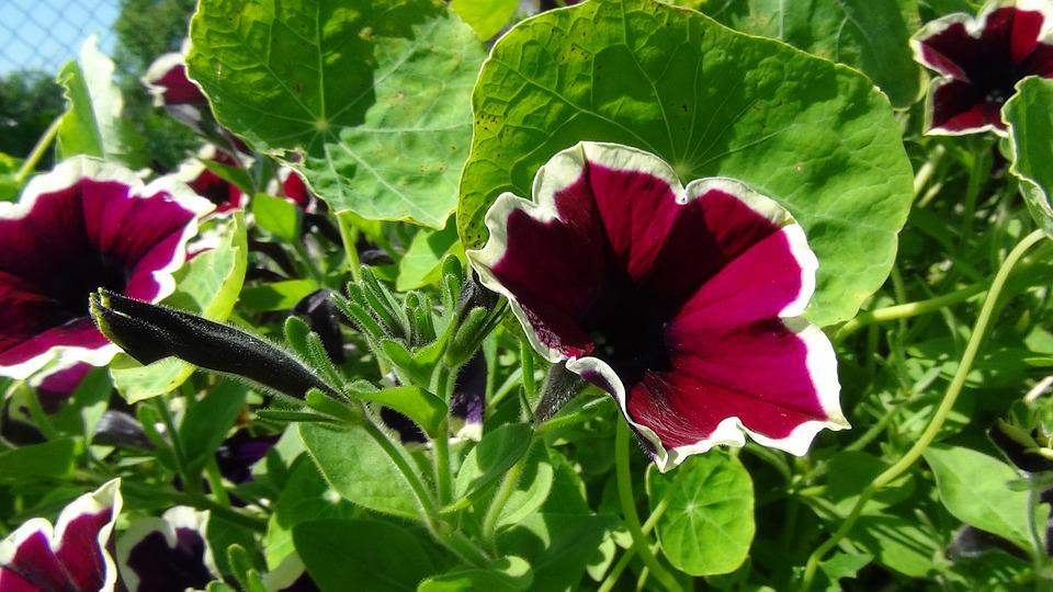 Nature, Flowers, Summer, Petunia
