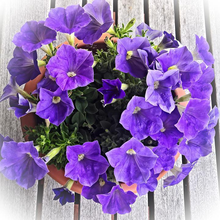 Flower, Petunia, Ornamental Plant, Dark Purple Flowers