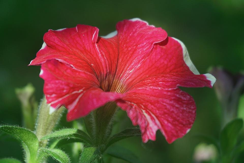 Surfinia, Flower, Petals, Garden, Plant, Petunia, Flora