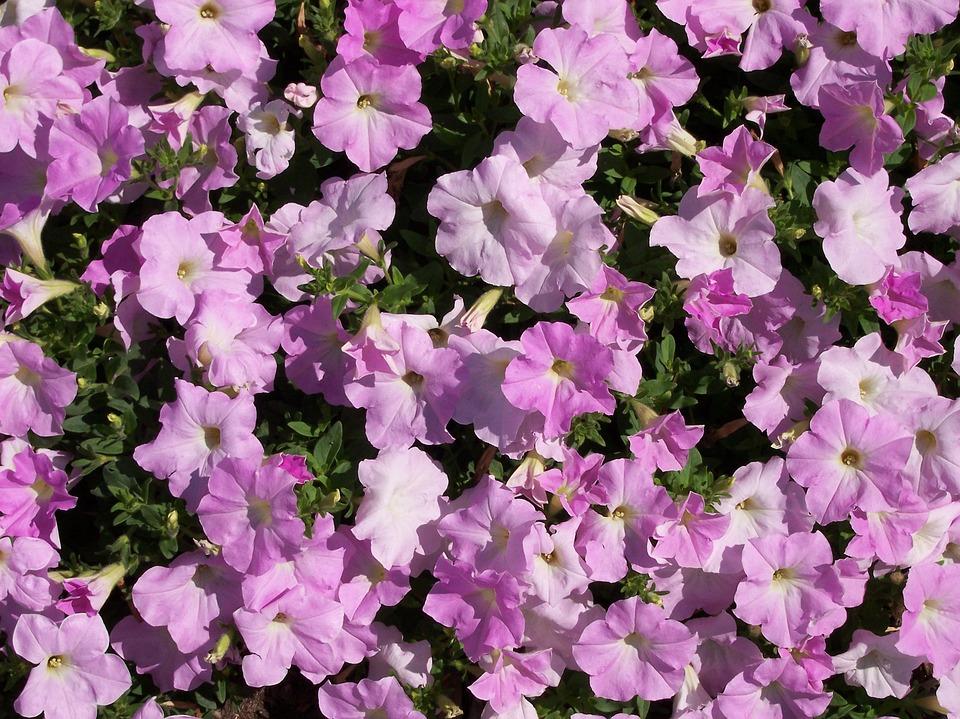 Flower, Petunia, Purple