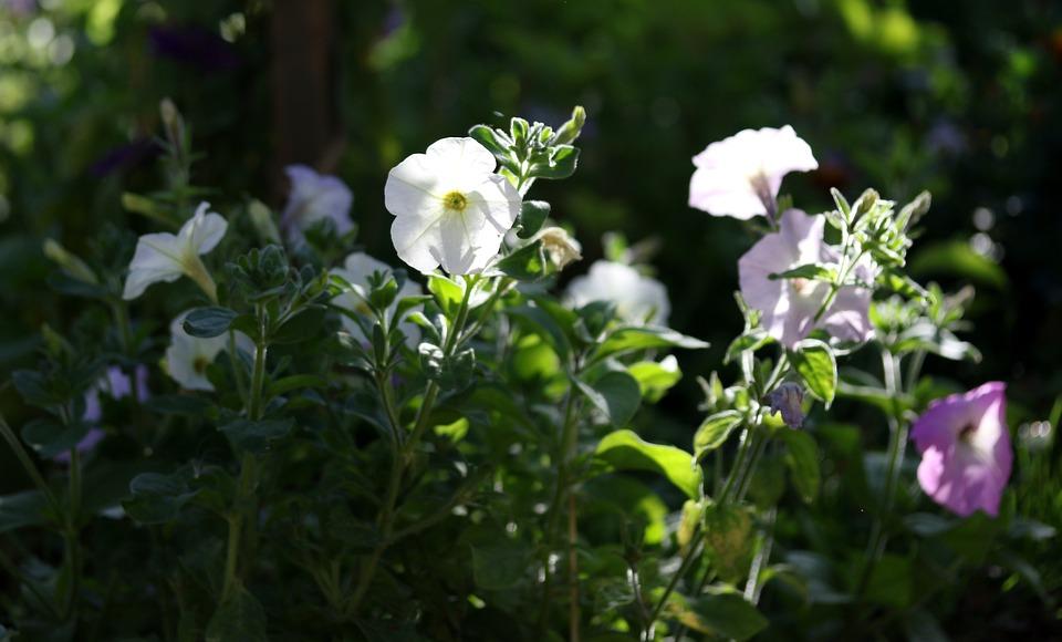 Petunia, Flower, White, Supplies, Nature