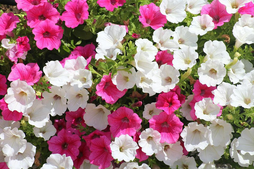 Flowers, Petunias, Summer, Nature, Pink, White