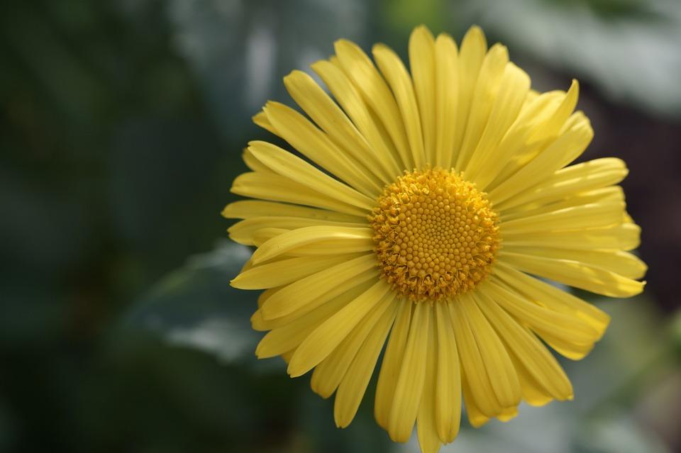 Flower, Yellow, Blossom, Bloom, Close, Peucedanum