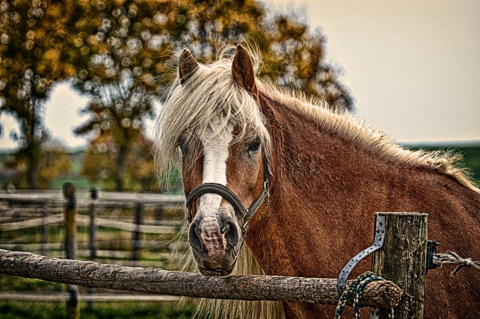Haflinger, Horse, Mane, Pferdeportrait, Nature