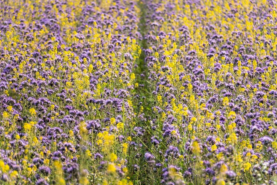 Phacelia, Mustard, Flower Meadow, Bee Friend, Bees