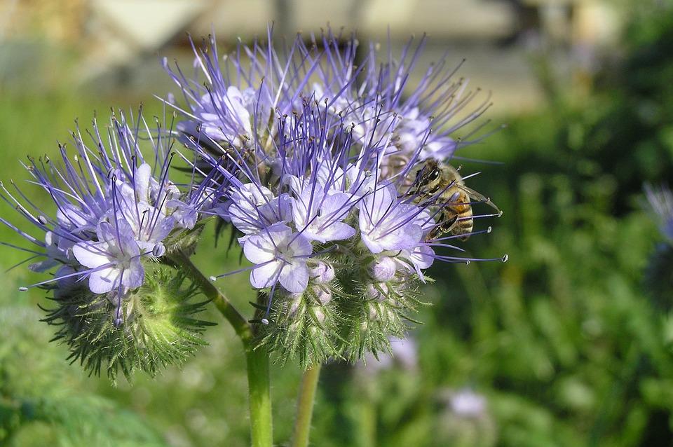 Nature, Flower, Plant, Summer, Bee Friend, Phacelia
