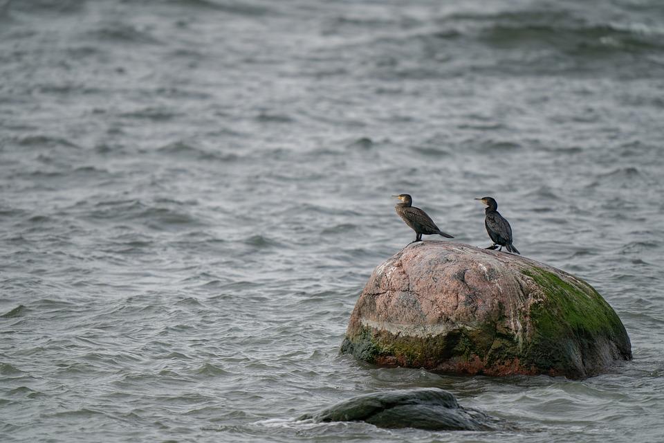 Great Cormorant, Phalacrocorax Carbo, Bird, Rock