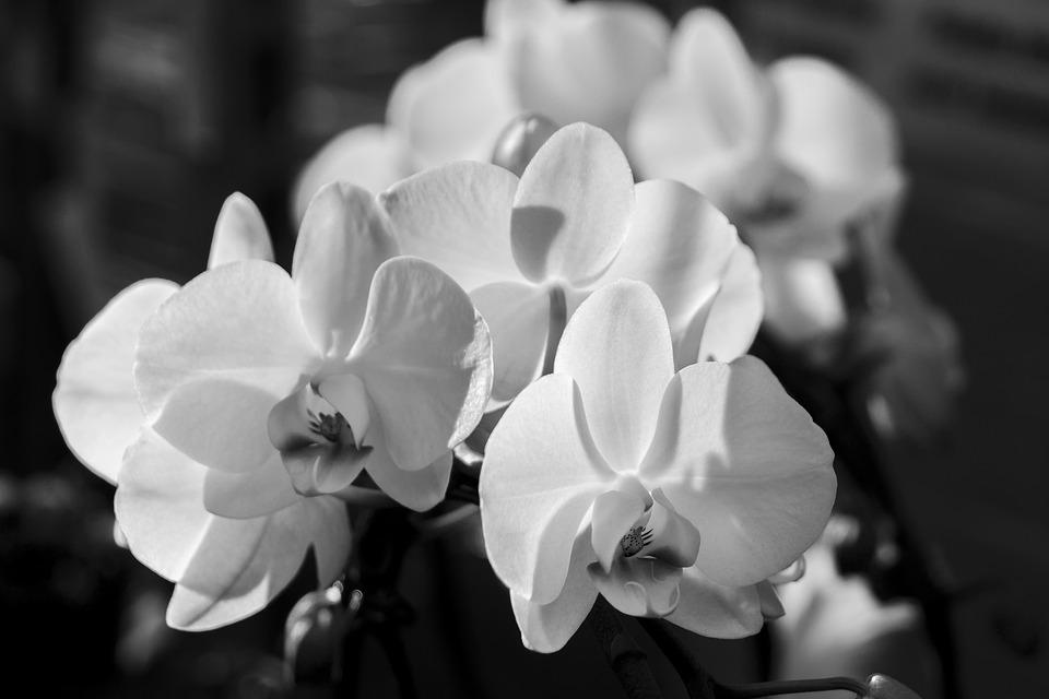 Orchid, Phalaenopsis, White, Phalaenopsis Orchid