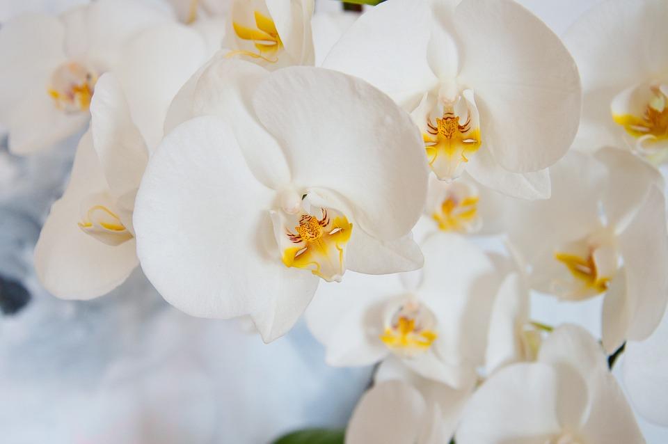 Orchid, Phalaenopsis, White, Blossom, Bloom, Flora