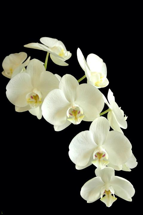 Phanaelopsis, Orchid, Flower, White And Black, Flora