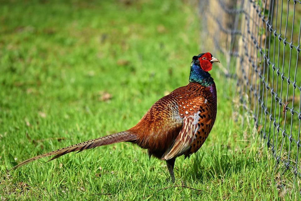 Common Pheasant, Pheasant, Ring Necked Pheasant, Bird