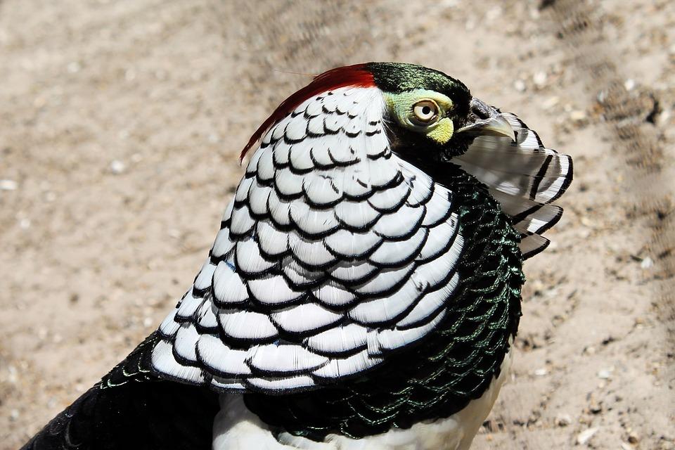 Diamond Pheasant, Pheasant, Bird, Feather