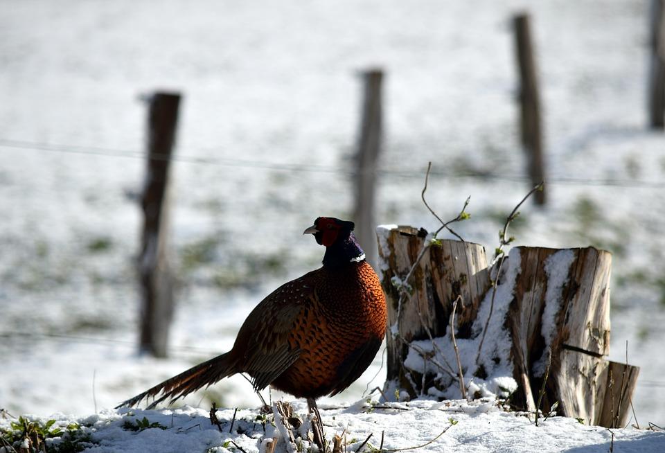 Pheasant, Bird, Snow, Animal, Male Bird, Wildlife
