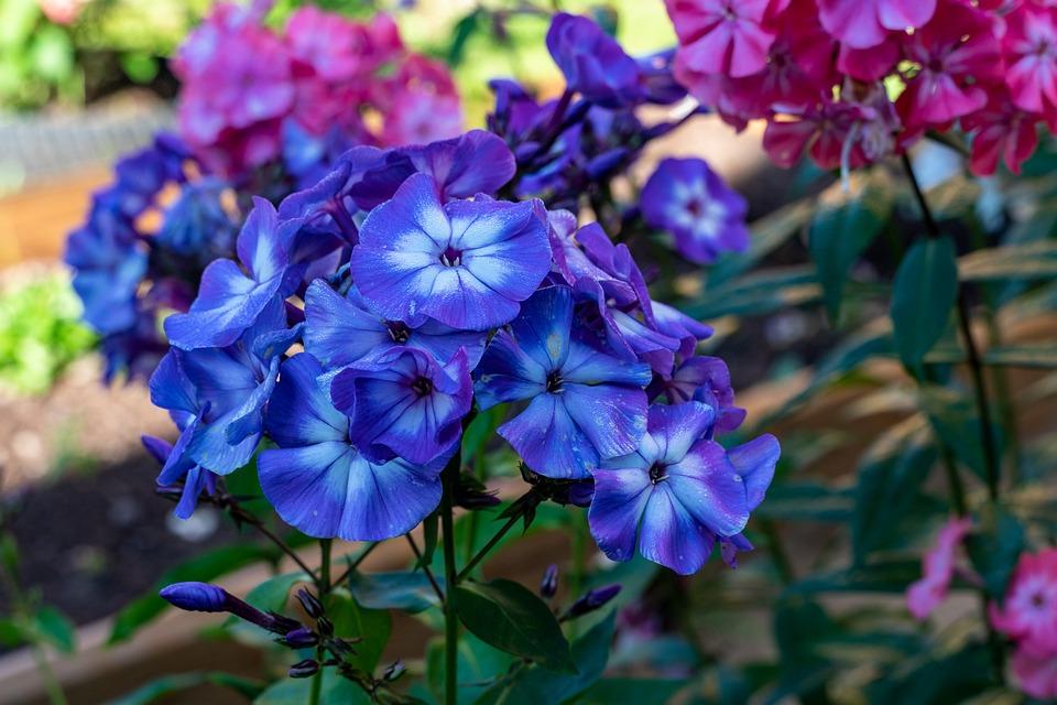 Phlox, Flowers, Petals, Bloom, Blossom, Bush, Flora