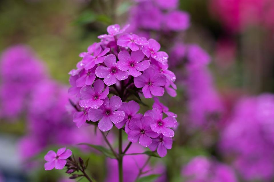 Phlox, Vlambloem Pink, Flowers, Garden, Summer