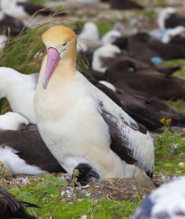 Albatrus, Phoebastria, Chick, Bird, Male, Tailed, Short
