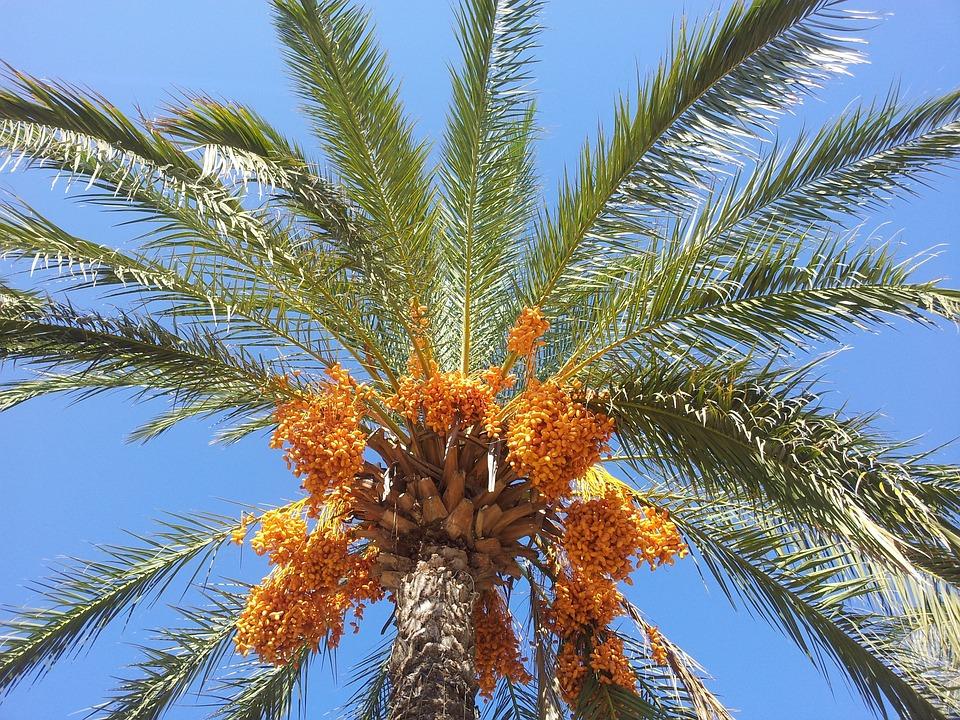 Date Palm, Palm, Dates, Phoenix Palm, Sky, Orange, Blue