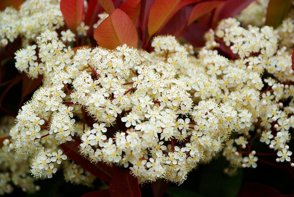 Photinia, White Flowers, Hedge, White, Flower, Garden