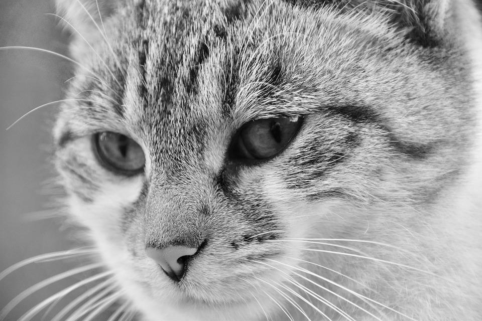 Cat, Portrait Cat, Photo Black White, Alley Cat