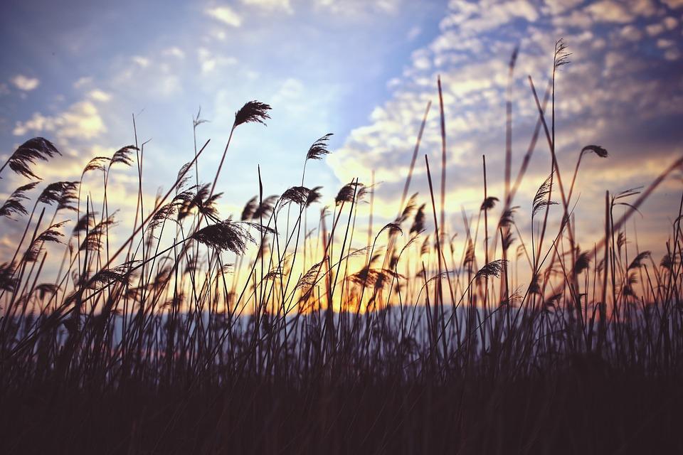 Phragmites, Sunset, Clouds, Lake, Nature, Reed