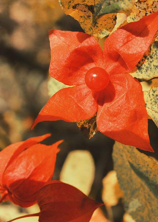Physalis, Flower Berry, Red Flower, Four Petal, Berry