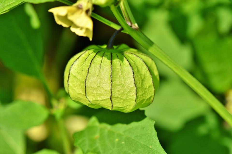 Physalis, Bladder Cherry, Plant, Judenkirsche
