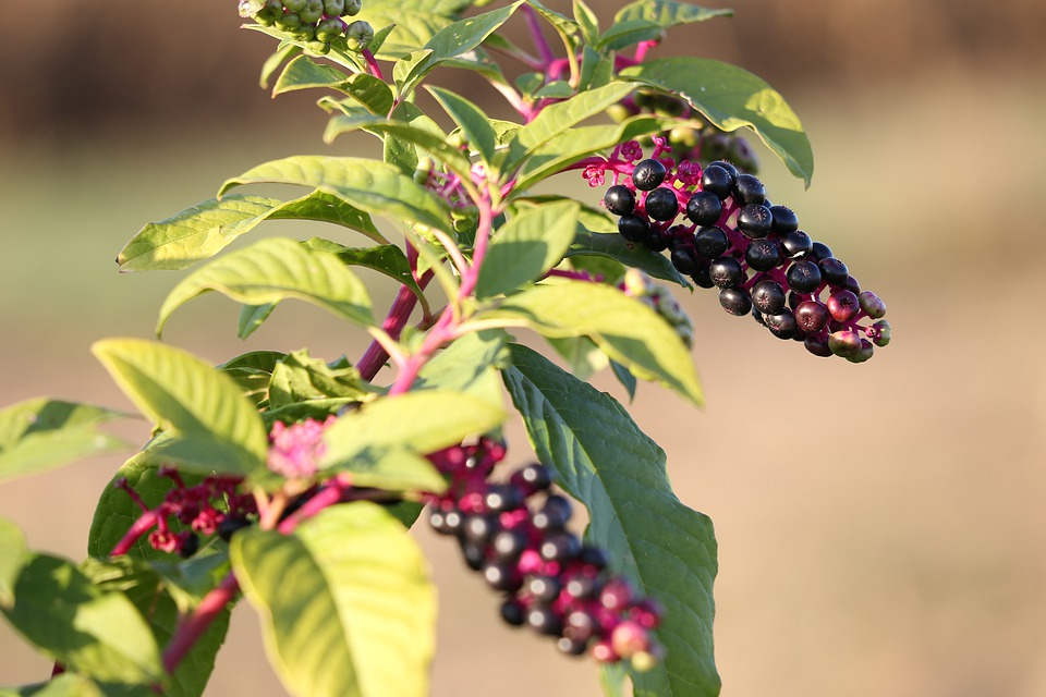 how to get rid of pokeweed safely