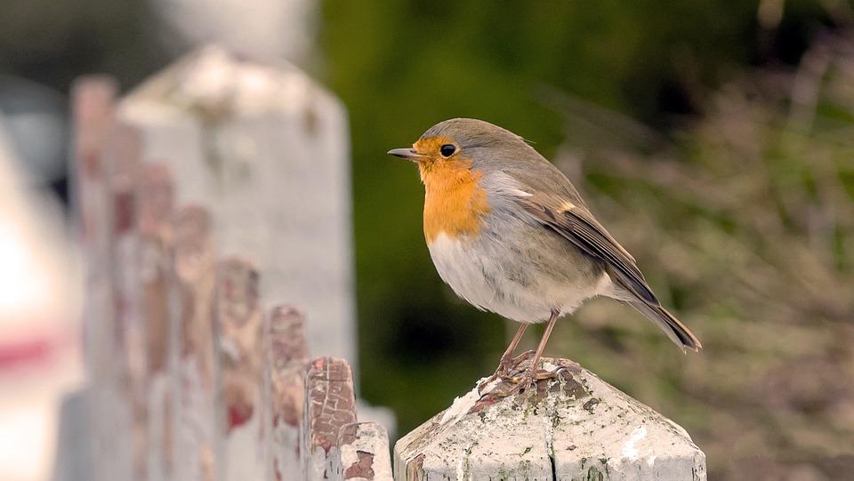 Natural, Outdoor, Birds, Wildlife, Robins, Picket Fence