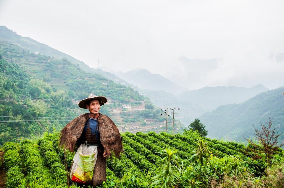 Tea Garden, Tea Grower, Picking, May
