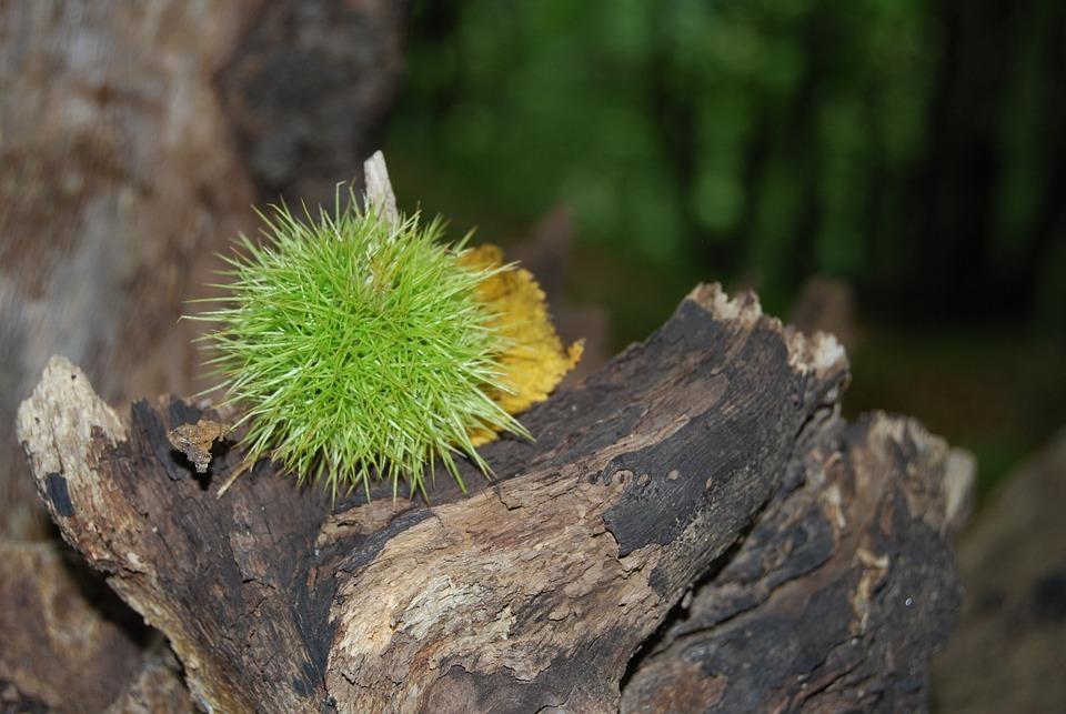 Chestnut, Sting, Prickly, Brown, Fruit, Sleeve, Pieksig