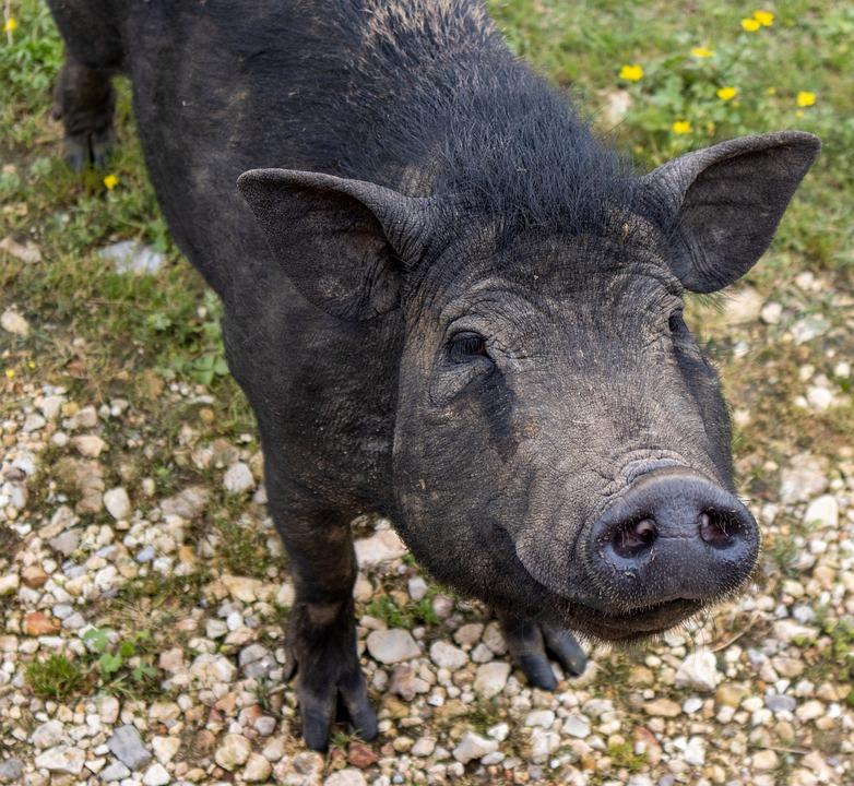 Pig, Woopig, Oink, Black, Farm, Animal, Livestock