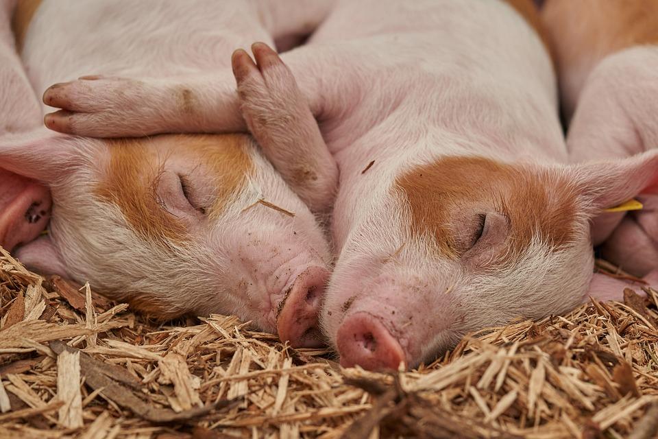 Piglet, Sleep, Pig, Farm, Relaxed, Animal, Boar