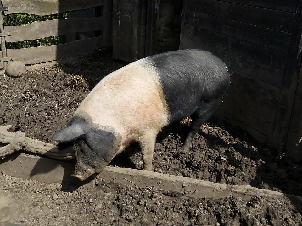 Pig, Farm, Animal