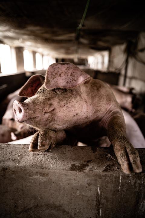 Pig, Animal, Farm, Livestock, Mammal, Pig Farm, Piggy
