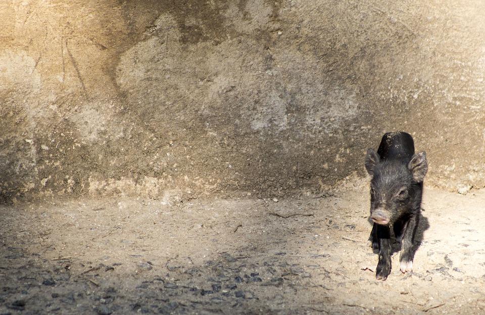 Piggy, Pig, Cute, Animal, Farm, Pork, Background, Funny