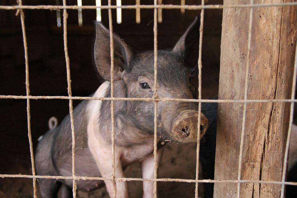 Piglet, Pig, Pig Pen, Pig Sty, Pork, Agriculture, Swine