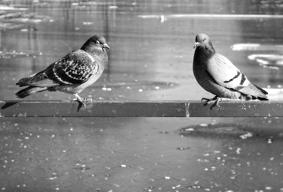 Pigeon, Rock Dove, Bird, Animal, Columbidae, Wildlife