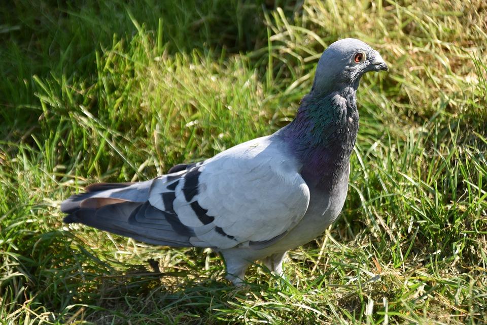 Homing Pigeon, Pigeon, Bird, Columba Livia Domestica