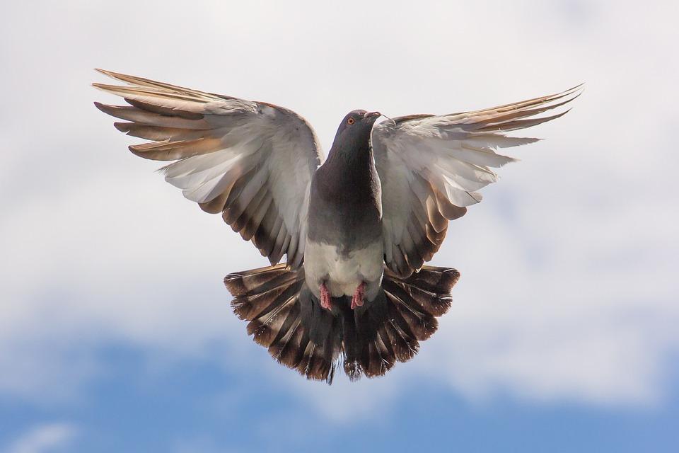 Pigeon, Dove, Bird, Wings, Fly, Freedom, Flight