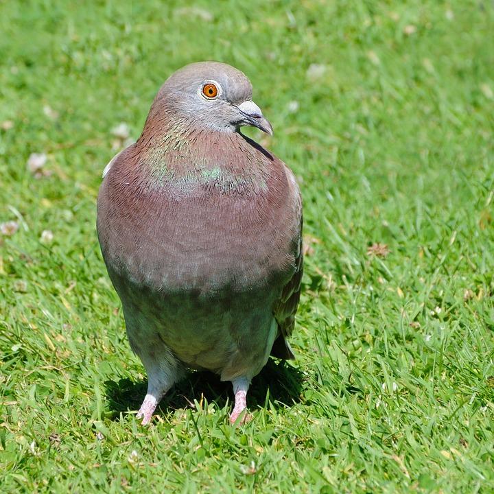 Pigeon, Bird, Animal, Grass